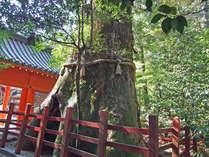 ★おすすめスポット★パワースポット*箱根神社*に安産杉が聳え立ってます。ご婦人に大人気!