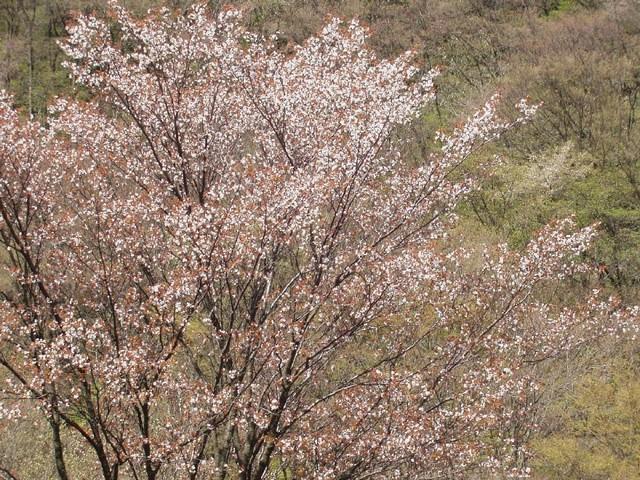 年毎に一回りずつ大きく伸びるこの桜の木は、四月の中ごろに花を咲かせます。ふたりじめ桜ですね