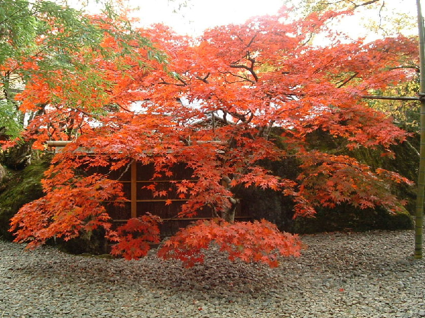 『箱根美術館(3)』」秋の紅葉はテレビで中継もされるほどです。ケーブルカー「公園かみ」下車
