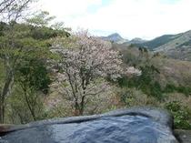 石風呂からの山桜