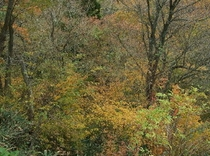 秋深く。谷の木々は柔かい色に紅葉します