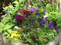 プランターに春の花