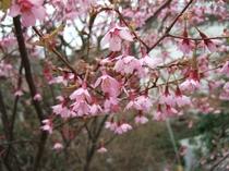 """一番初めに咲く""""おかめ桜"""""""