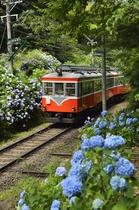 初夏、箱根登山電車はアジサイ電車と呼ばれます