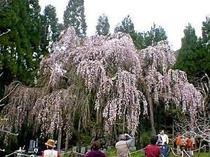 高山村しだれ桜