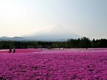 富士芝桜まつり 2013年4月13日〜6月2日