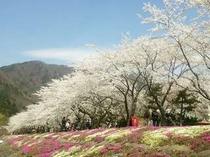 2015.4.16桜並木