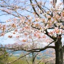 当館の周りにも春の訪れ、さくらが開花します。