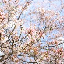 春の訪れを知らせる桜が咲きほこります。