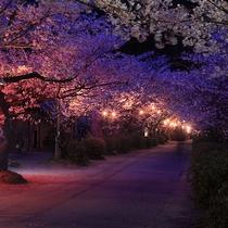 秋月杉の馬場の桜(4月頃)