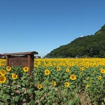 道の駅 原鶴のひまわり畑(9月頃)