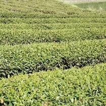 奥久慈茶 茶畑