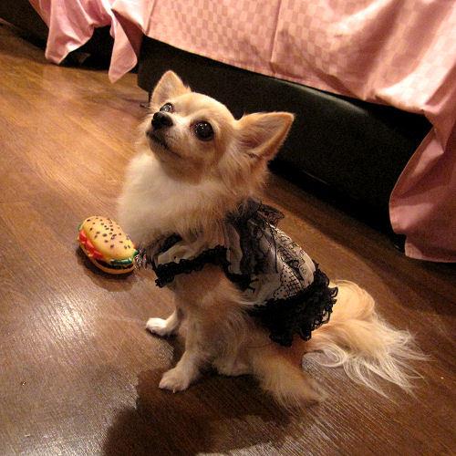Doggies Chihuahua powa