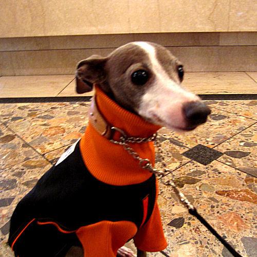 Doggies Italian Greyhound