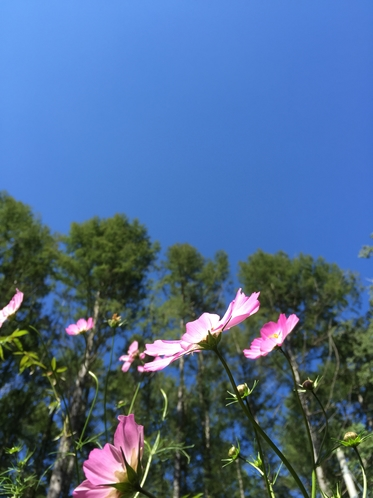 秋空とコスモス