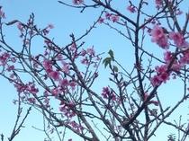 桃の花のような桜「緋寒桜」