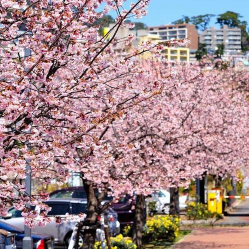 熱海親水公園の大寒桜