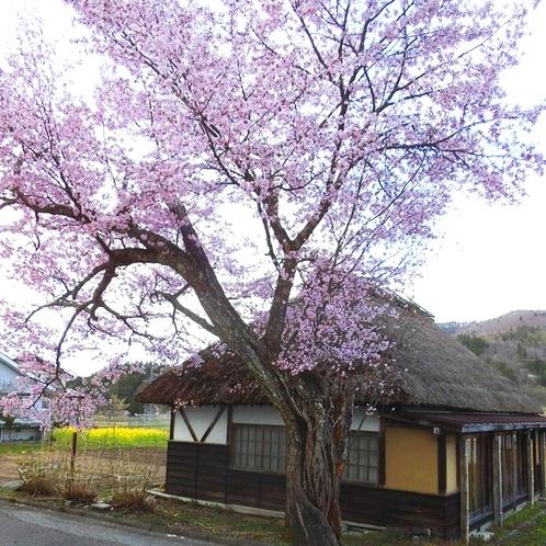 【周辺】当館すぐそばの桜の木。GWが見ごろです。