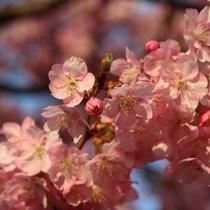 【観光】河津桜