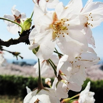 鳥取市 久松公園の桜