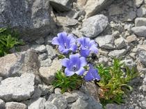イワギキョウ (岩桔梗)紫色 桔梗科