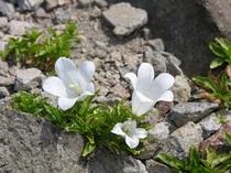 イワギキョウ (岩桔梗)白色 桔梗科