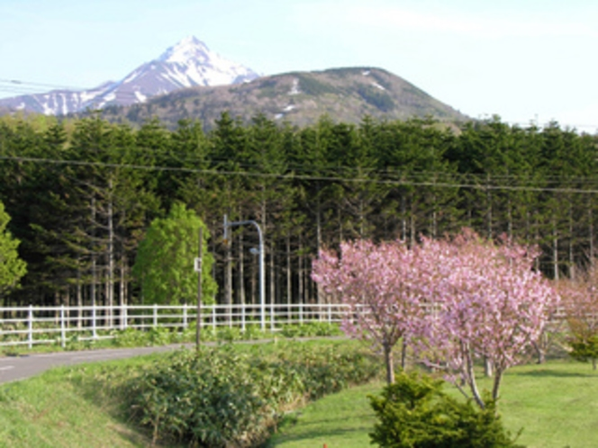 桜と利尻山