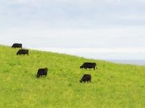 【宗谷丘陸】放し飼いの牛