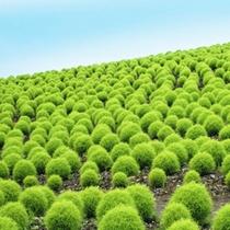 コキアパーク グリーンシーズン