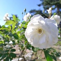 """*敷島公園/600種7,000本のバラや四季を彩る花木をご覧いただける""""バラ園""""。毎年春と秋に""""バラ祭""""開催!"""