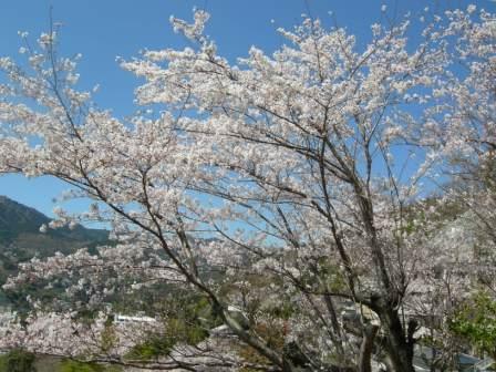 温泉棟から見える敷地内の桜(b)