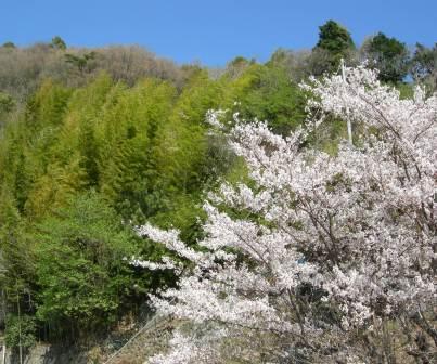 温泉棟から見える敷地内の桜(a)