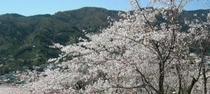 敷地内の桜・横長