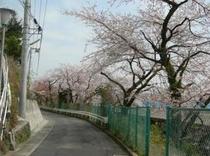 湯河原駅裏桜並木