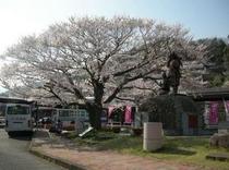 駅前の桜満開