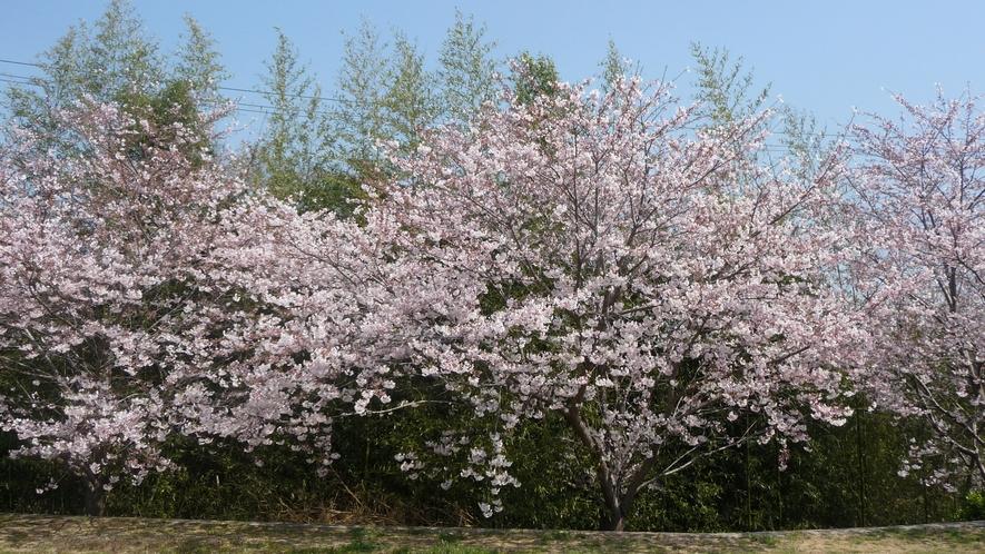 *春には庭の桜が満開です♪