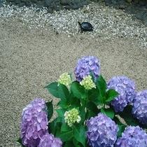 亀吉と紫陽花
