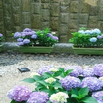 カメ吉と紫陽花