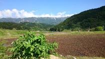水田と収穫後のウド