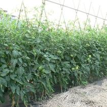 妙高トマト畑