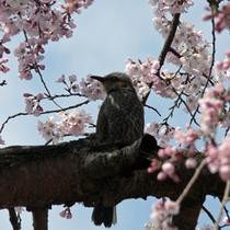 桜と野鳥(高田公園)