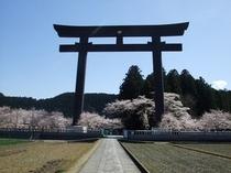 パワースポット大斎原の桜