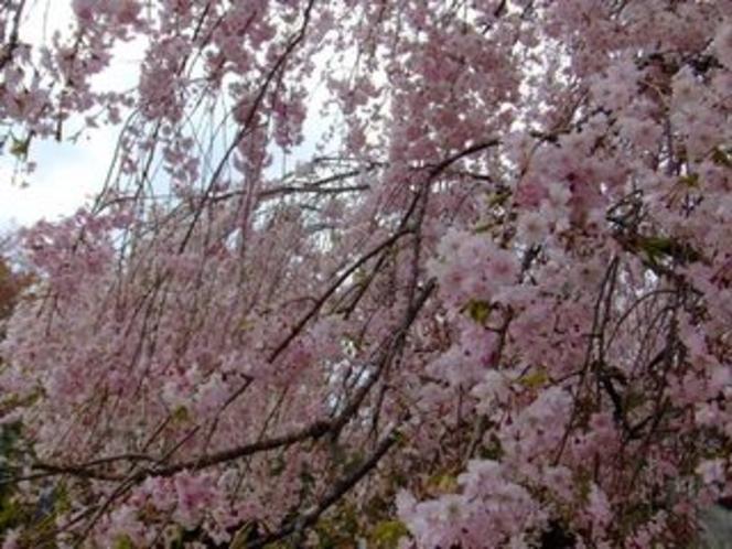 七越峠のしだれ桜