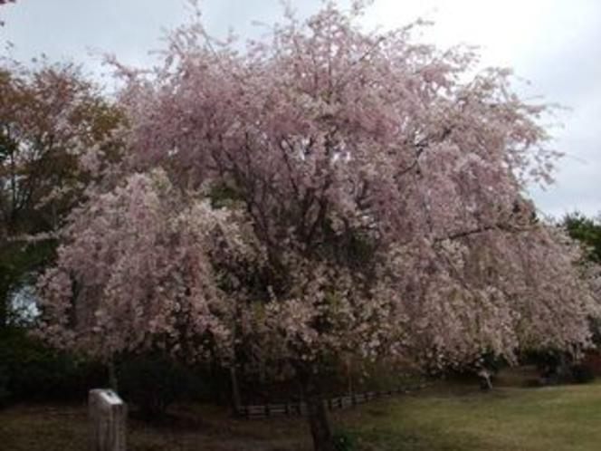 隠れた桜の名所・七越峠