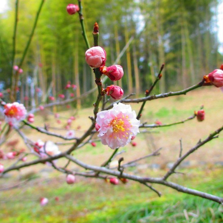 春の訪れを告げる梅花