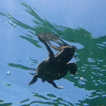 【ビーチ】毎年6月頃にウミガメが産卵に訪れ、8月頃には子ガメが孵化し、海へと帰っていきます