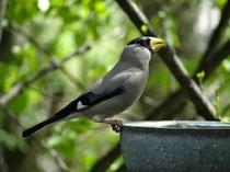 庭にやって来る野鳥(イカル)