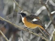 庭にやって来る野鳥(ジョウビタキ)