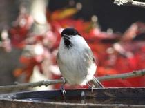 テラスに来る野鳥(コガラ)