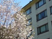 ヴァルトベルクと桜
